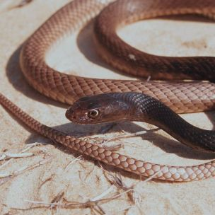 Eastern coachwhip (Photo by: John Jensen)