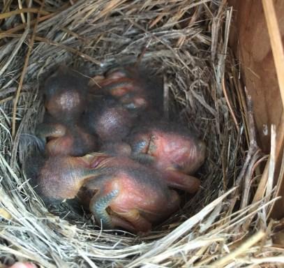 baby-bluebirds-in-nest1.jpg