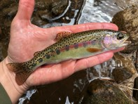 trout rbt wild SC Damer April 2018small