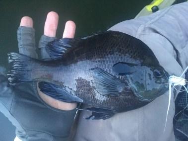 sunfish bluegill whopper unicoi lake 7-29-18small