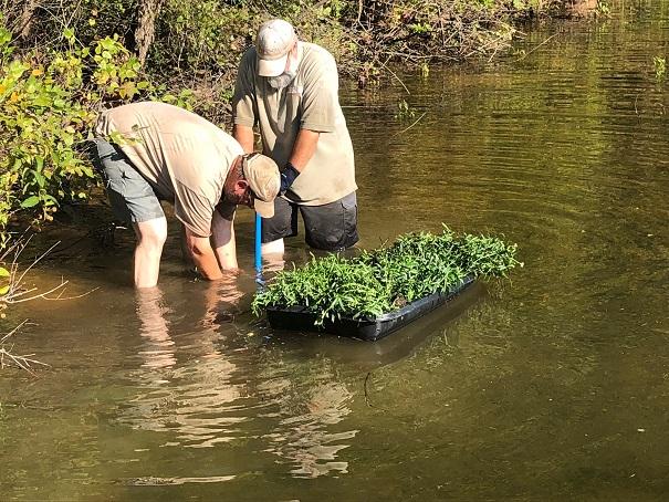 hartwell aq plants Bruce Creek Sept 2018 pic2