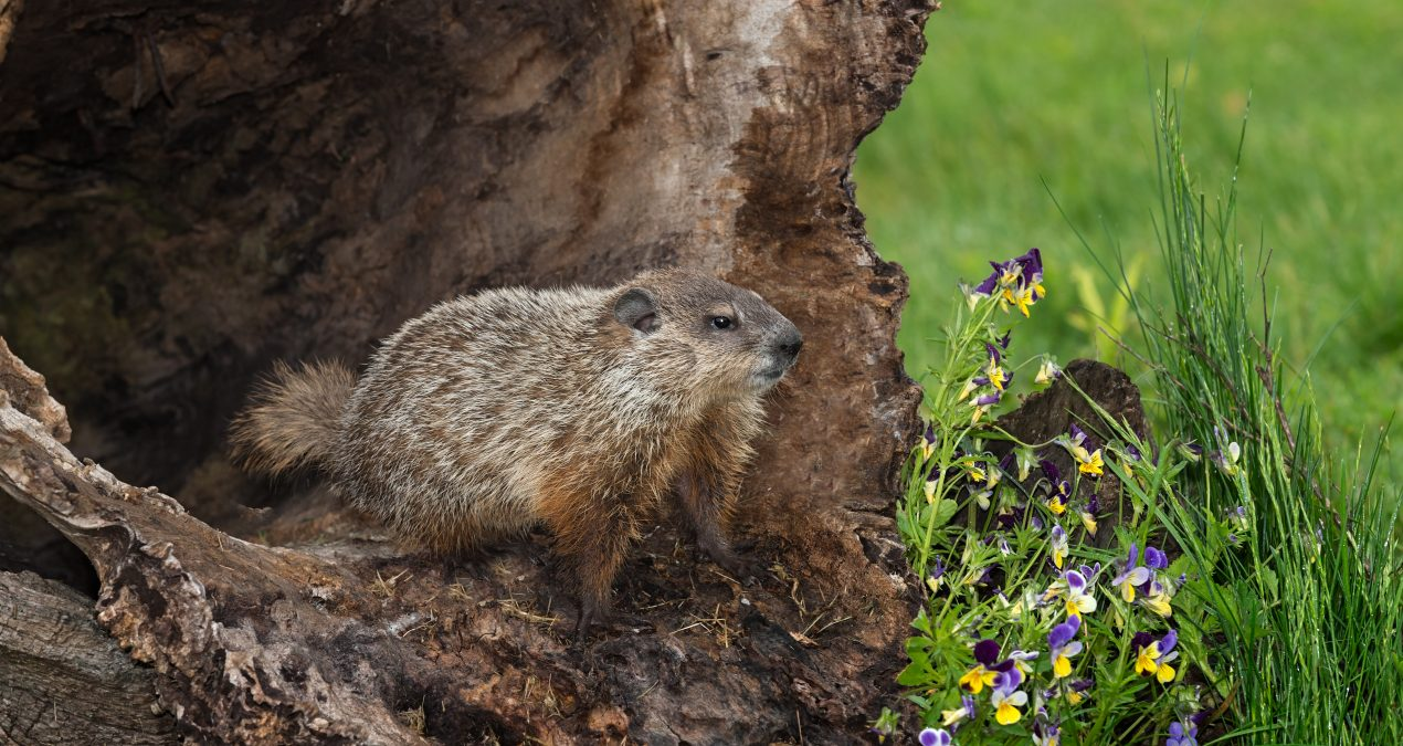 5 Cool Facts About Woodchucks