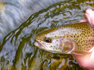 Rainbow trout caught on caddis dry - caught on Chattooga Delayed Harvest