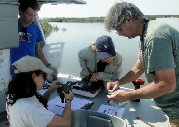 Survey crew measures diamondback terrapin