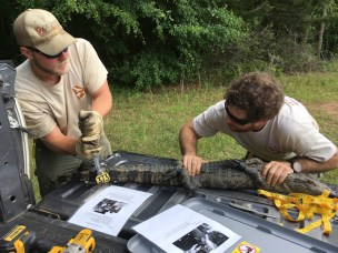 DNR Staff tag alligator as part of population survey.