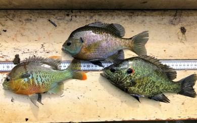 sunfish trio Zwerner AR spring 2019