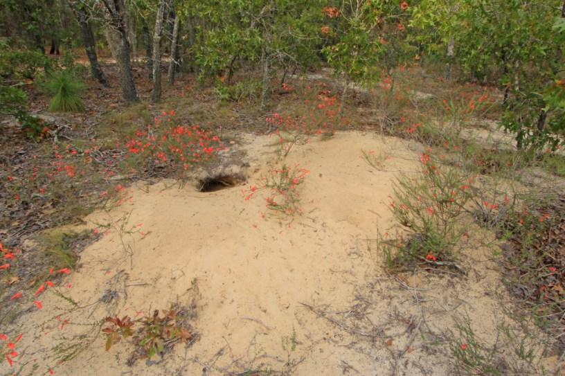 large sandy patch with burrow entrance, surrounded by green brushy plants with bright red-orange blooms