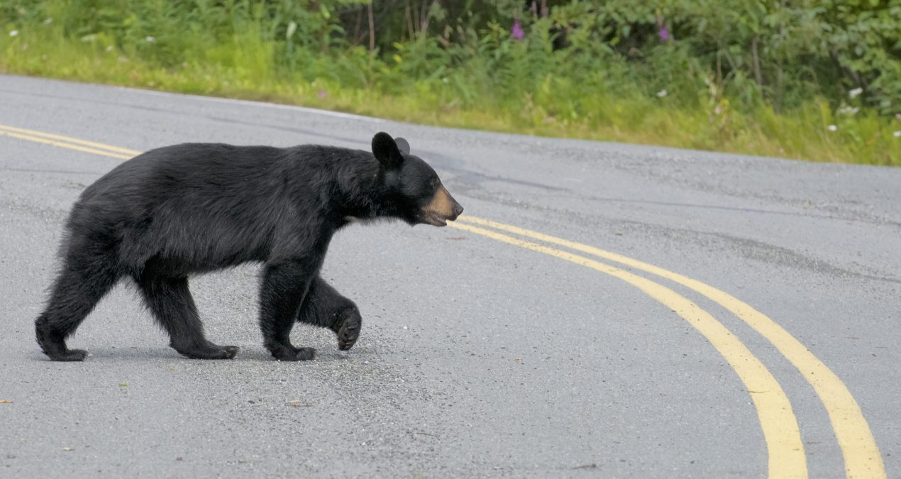 Why Do Critters Cross the Road?