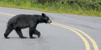 A black bear crossing the road.