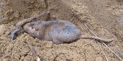 southeastern pocket gopher