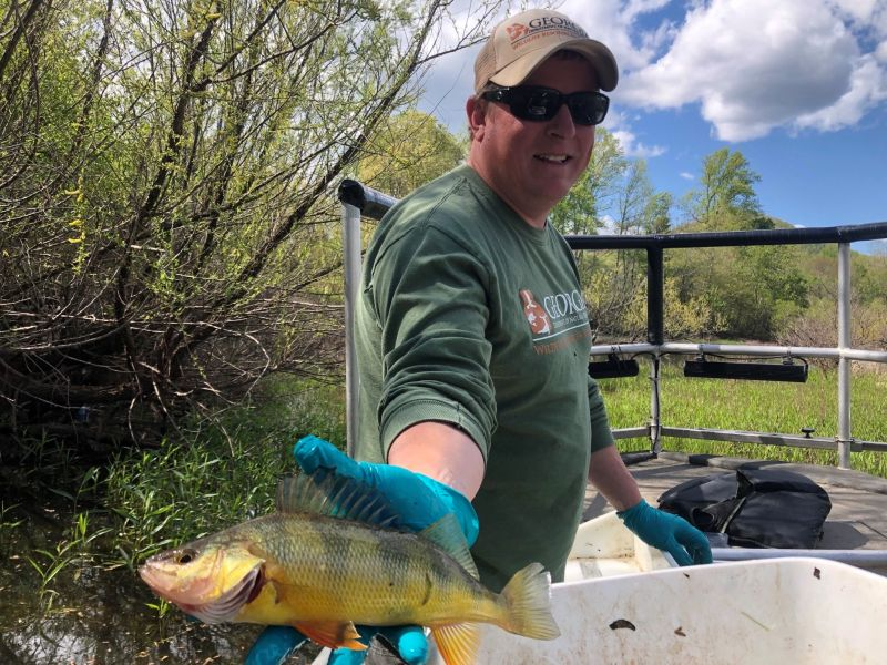 Yellow Perch from Lake Chatuge