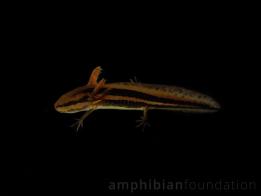 2020-Ambystoma-cingulatum-larvae