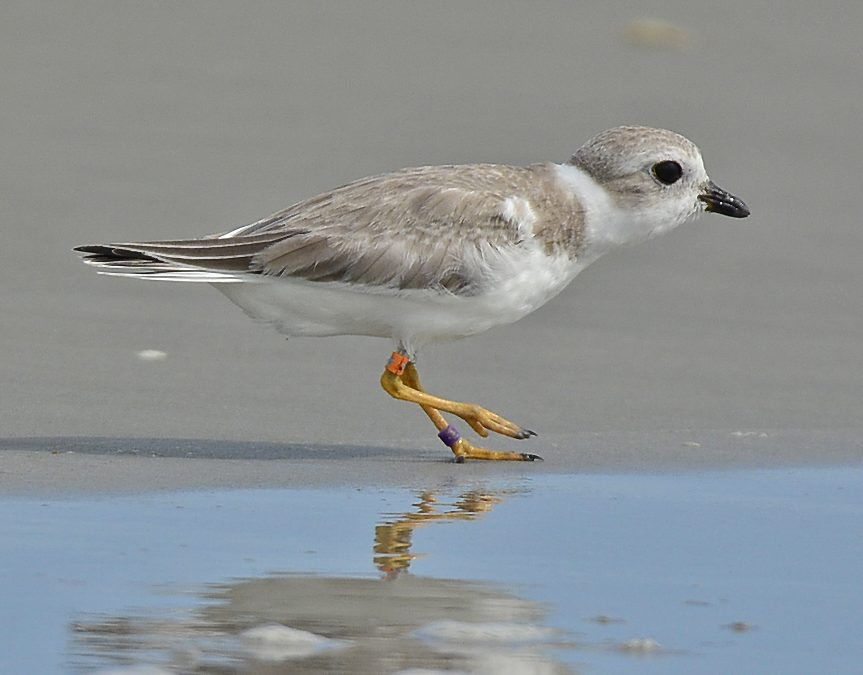 Plover Siblings Stir Attention, Hope on Georgia Coast