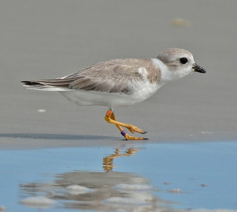 Piping plover Hazel on Cumberland Island_Doris and Pat Leary