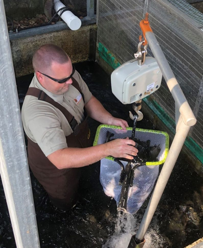 Josh Tannehill weighing trout for stocking at Summerville Hatchery