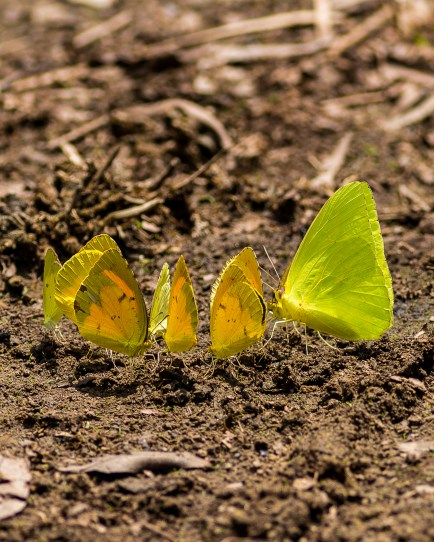 A group of sulfur butterflies feed together. Photo credit: James Malphrus.
