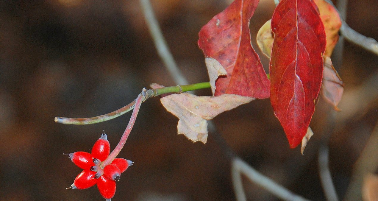 Out My Backdoor: Dogwood Berries Are a Wildlife Favorite