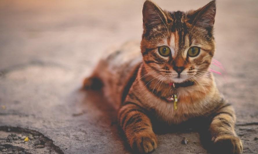 Cara Manjur Untuk Mengatasi Kucing Tidak Mau Makan