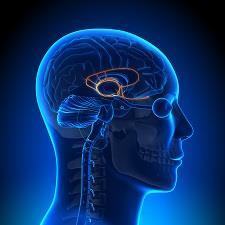 Image result for amygdala