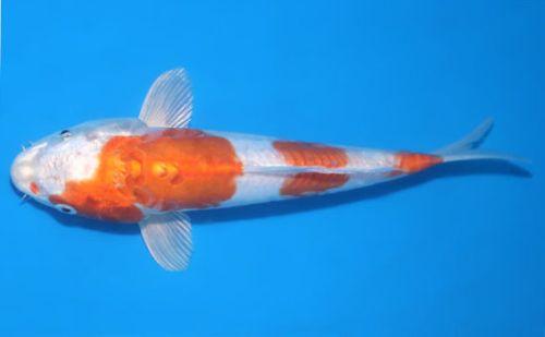 jenis Ikan Koi Doitsu