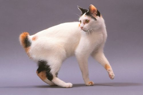 Kucing japanese bobtail belang tiga