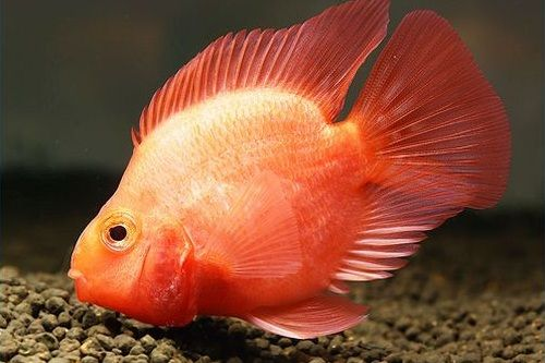Gambar ikan Blood-Red Parrot Cichlid