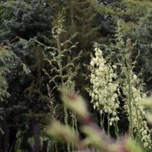 A yucca