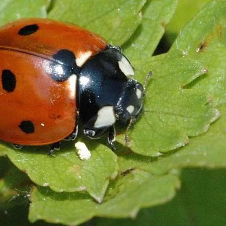 coccinella-7-punctata-adult