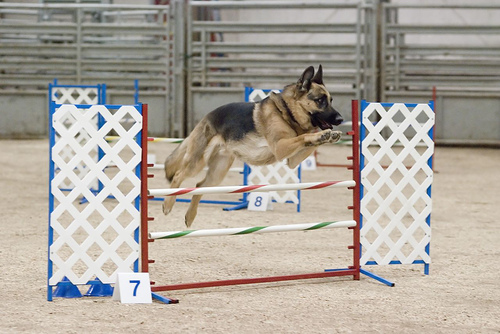 Is Your Dog Ready For Agility Training?