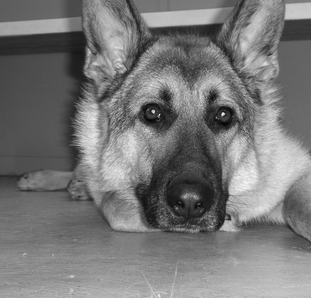 Why German Shepherds go into shelters and rescue