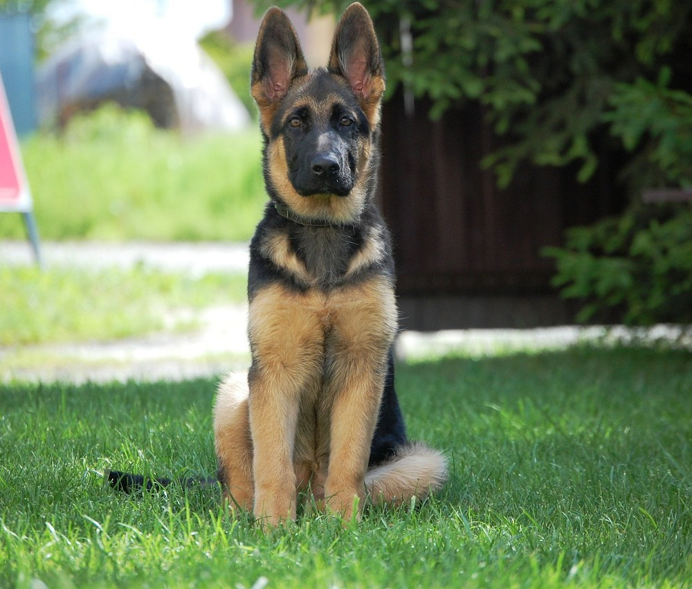 German Shepherd Puppy Sitting