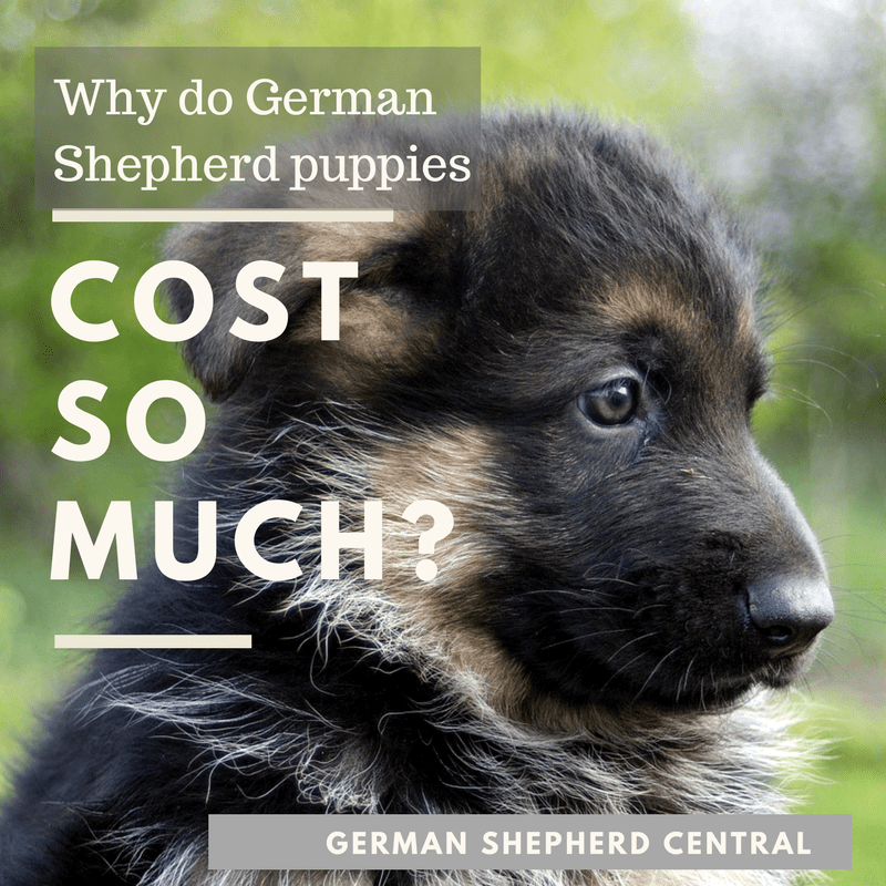 How Much Does A German Shepherd Puppy Cost German