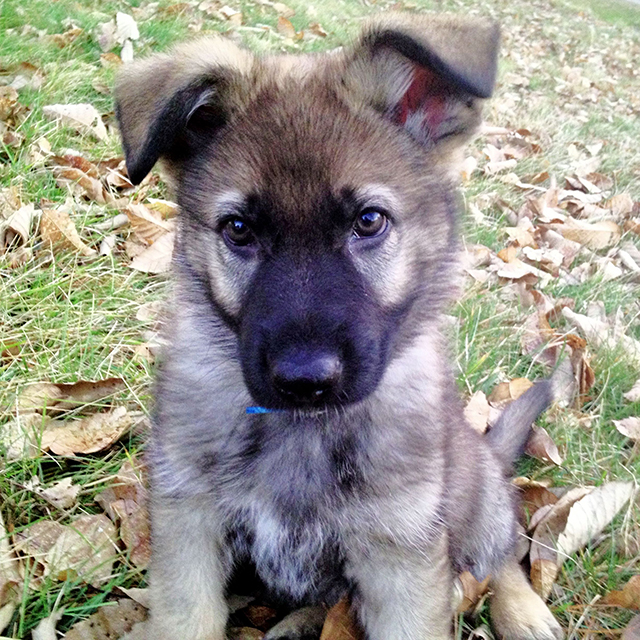How to socialize your German shepherd puppy
