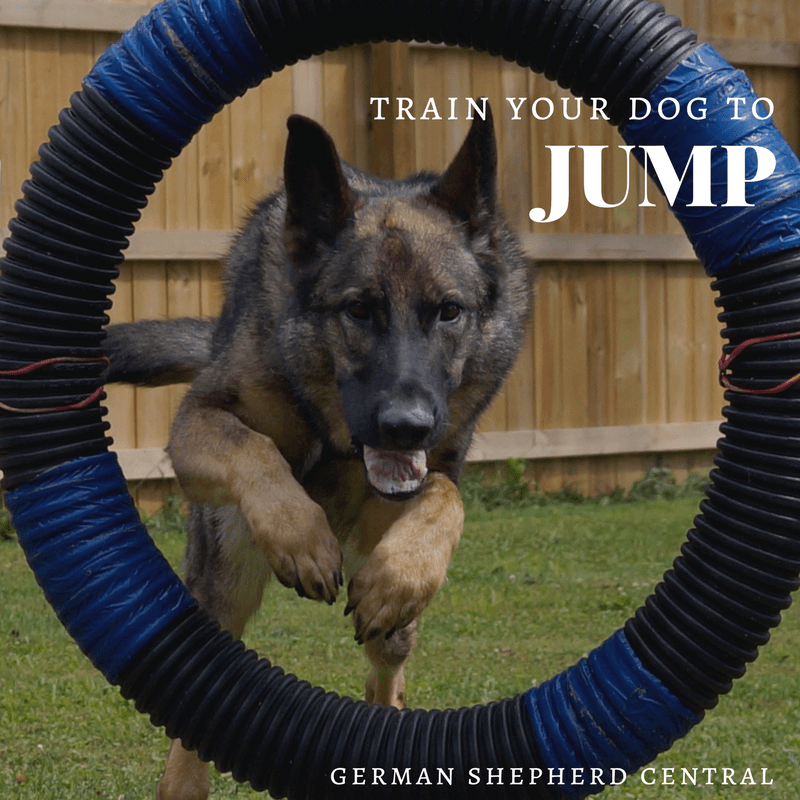 Sable German Shepherd jumping through tire jump