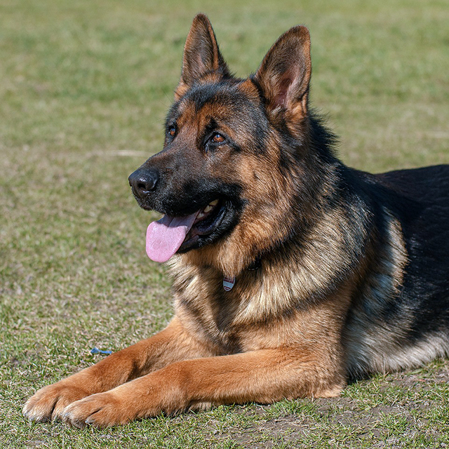 Teach your GSD to lay down