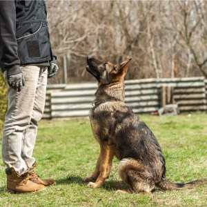 First 4 Commands To Teach Your German Shepherd Puppy