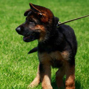 How Long Should I Walk My German Shepherd Puppy