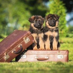 Traveling With Your German Shepherd