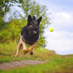 What Is Flyball For Dogs?