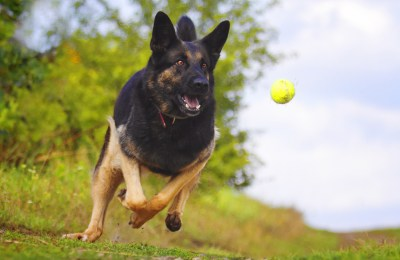 Flyball For Dogs