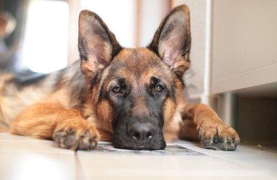 German Shepherd Separation Anxiety