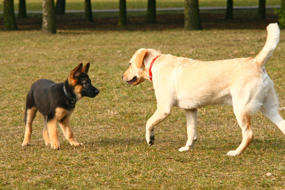 GSD puppy socializing outside