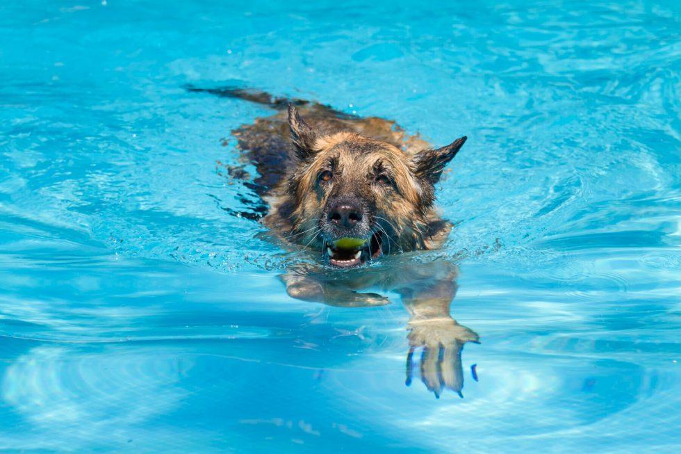 German Shepherd Swimming with ball