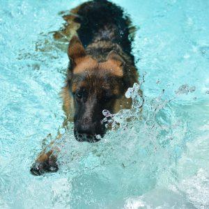 Do German Shepherds Like Water?