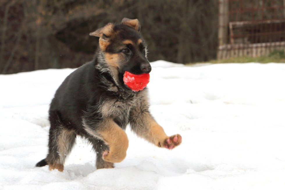 GSD pup playing in snow