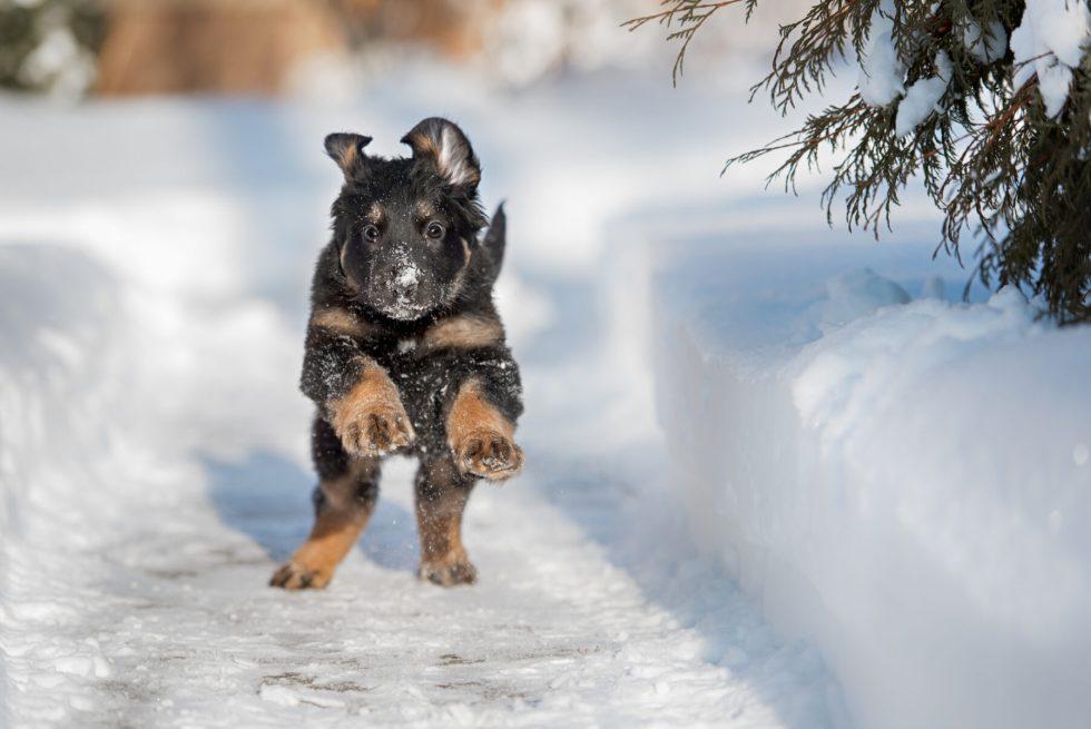 German Shepherd puppy running in the snow