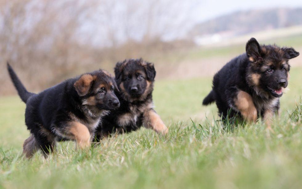 german Shepherd puppies playing