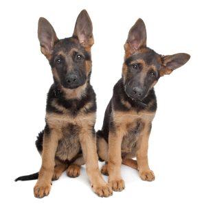 Are German Shepherds Hypoallergenic?