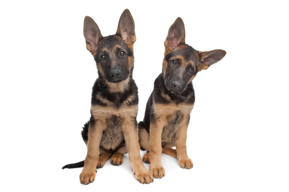 Cute German Shepherd puppies