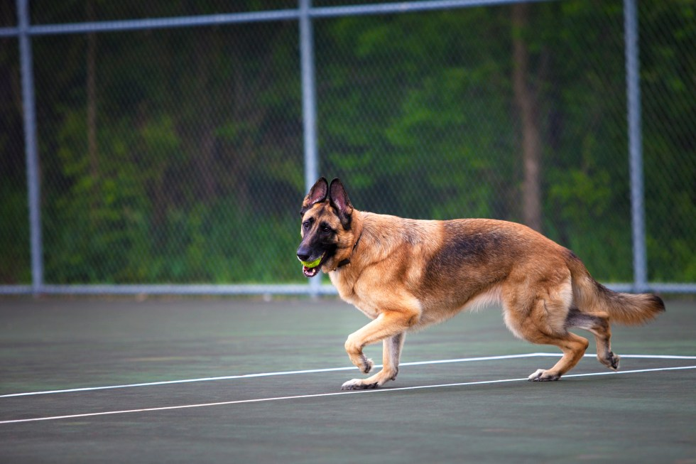 German Shepherd Playing with ball